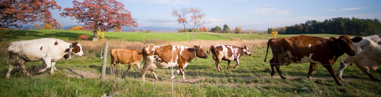 header-field-cows